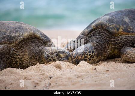 Two sleeping turtles on the beautiful white sand beaches of Hawaii - Stock Photo