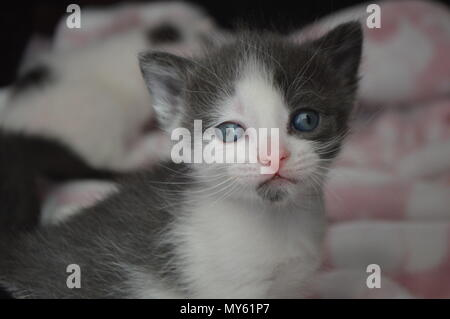 Grey and white 3 week old kitten - Stock Photo