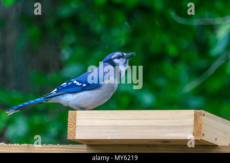 a blue jay sits on a bird feeder - Stock Photo