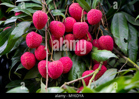 Litchi, Lichee, Lichie Leechee, Lichi, Bangla: Lichu. The Lychee is a fresh small fruit having whitish pulp with fragrant flavor. The fruit is covered - Stock Photo