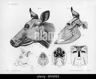 . Animal anatomical engraving from Handbuch der Anatomie der Tiere für Künstler - Hermann Dittrich, illustrator. 1889 and 1911-1925. Wilhelm Ellenberger and Hermann Baum 126 Cow anatomy