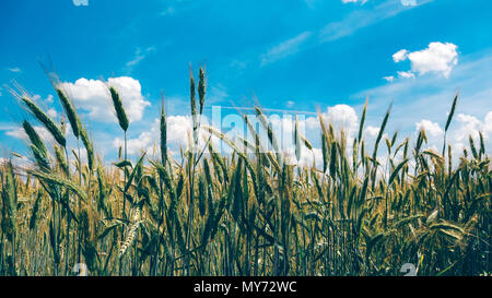 Cultivated rye growing in the field, selective focus - Stock Photo