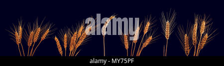 Wheat ears with ripe grains isolated on black background, conceptual image for growing cereal plants - Stock Photo