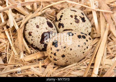 Raw three spotted quail eggs in the straw closeup Stock Photo