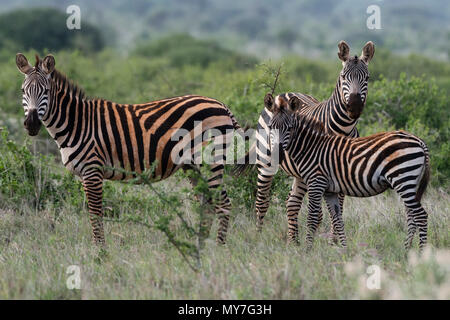 Plains zebras (Equus quagga), Tsavo, Coast, Kenya - Stock Photo
