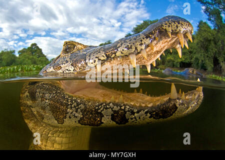 Yacare caiman (Caiman yacare), animal portrait, open mouth, split-level shot, Mato Grosso do Sul, Pantanal, Brazil - Stock Photo