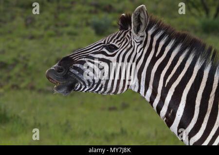 Plains Zebra (Equus quagga), begging stallion, animal portrait, Pilanesberg National Park, Pilanesberg Game Reserve - Stock Photo