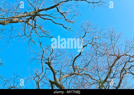 branches against the blue sky, tree branches without leaves, tree branches and the moon in the afternoon - Stock Photo