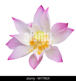 Pink lotus or water lily isolate on white background - Stock Photo