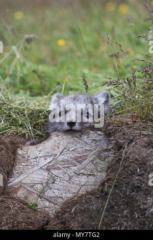 Close up of a young playful arctic fox cub in summer on iceland - Stock Photo