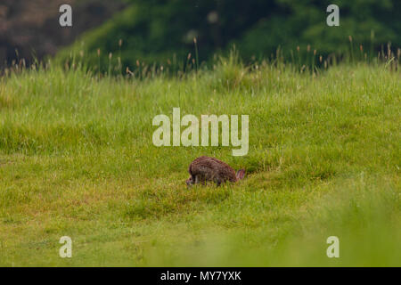 European rabbit (Oryctolagus cuniculus) disappearing into its burrow in a field - Stock Photo