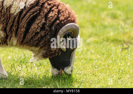 Jacob sheep portrait showing horns - Stock Photo