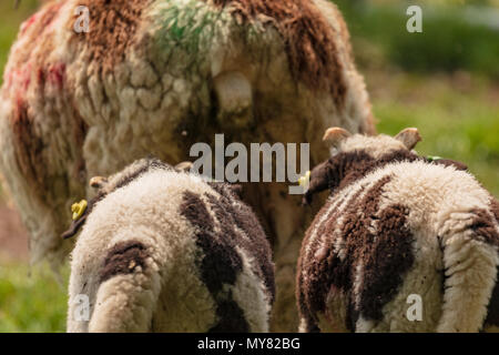 Jacob sheep rear portrait showing two lambs following mother - Stock Photo