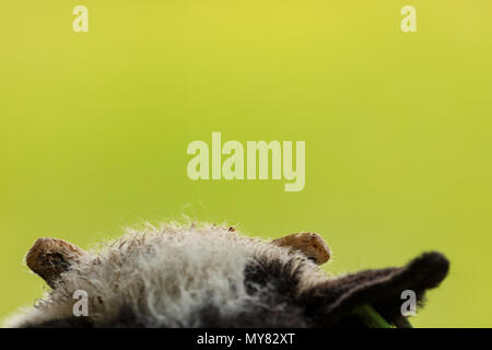 Jacob sheep lamb portrait showing top of head with horns and green bokeh background - Stock Photo