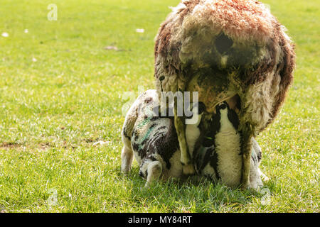 Jacob sheep family portrait showing lambs feeding from mother - Stock Photo