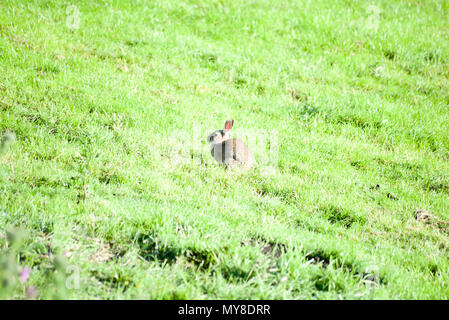 wild cute rabbit sitting in the middle of a lush green field - Stock Photo