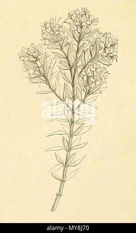 . Español: Westringia rigida en Adolf Engler & Karl Prantl, Die Natürlichen Pflanzenfamilien: nebst ihren , 1887, p. 217 . 1887. Adolf Engler & Karl Prantl 140 Dienatrlichenp43engl 0243 (1)-003 - Stock Photo