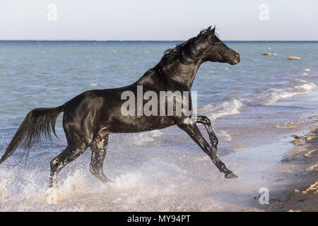 Arabian Horse. Black stallion galloping on a beach. Egypt - Stock Photo