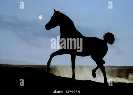 Arabian Horse. Black stallion trotting in the desert, silhouetted against the moon. Egypt - Stock Photo