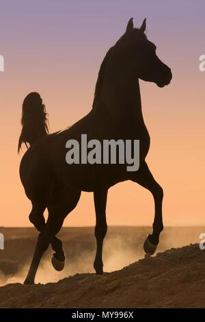 Arabian Horse. Black stallion trotting in the desert, silhouetted against the evening sky. Egypt - Stock Photo