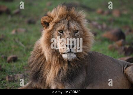 Male Lion resting on the Maasai Mara plains (Panthera leo). Kenyan Safari, picture taken in the Olare Motorogi Conservancy. - Stock Photo