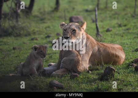 Lioness and 2 cubs resting on the Maasai Mara plains (Panthera leo). Kenyan Safari, picture taken in the Olare Motorogi Conservancy. - Stock Photo