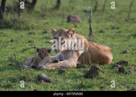 Lioness and cub resting on the Maasai Mara plains (Panthera leo). Kenyan Safari, picture taken in the Olare Motorogi Conservancy. - Stock Photo