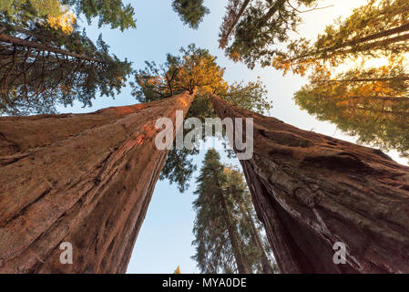 Giant Sequoia Trees - Stock Photo