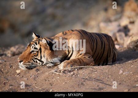 Bengal Tiger Cub - Stock Photo