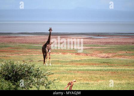 Giraffe in lake Manyara national park, Tanzania © Antonio Ciufo - Stock Photo