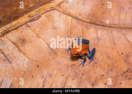 Blue-jeans Frog, Strawberry Poison-dart Frog / oophaga pumilio in the Costa rica jungle - Stock Photo
