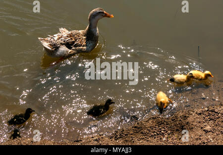 Mother duck and ducklings cub bathe in the pond. - Stock Photo