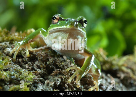 Nice amphibian green European tree frog, Hyla arborea, details of the eyes, portrait - Stock Photo