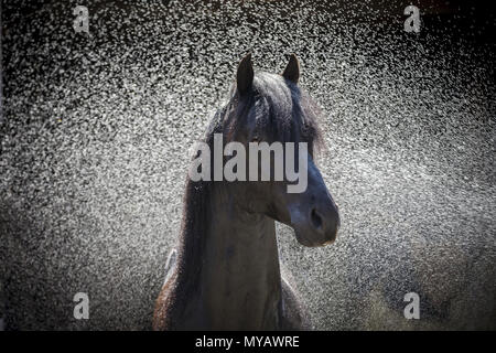 Paso Fino. Portrait of black stallion during hosing. Germany - Stock Photo