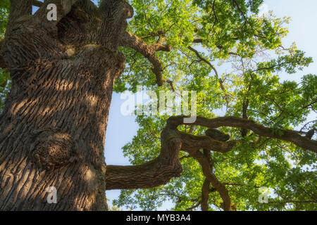 Branches of a large 500 year old oak tree spread side with the sky behind - Stock Photo