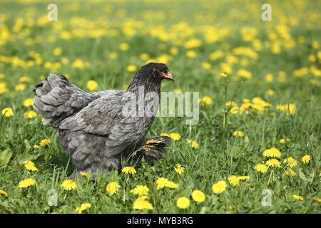 Domestic Chicken, breed: Partridge Brahma. Hen walking in a meadow with Dandelion flowers. Germany - Stock Photo