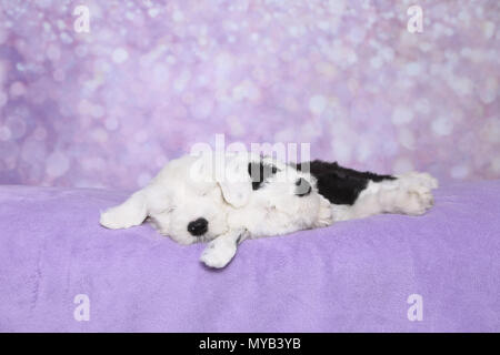 Old English Sheepdog. Two puppies sleeping on a purple blanket. Studio picture against a purple background. Germany - Stock Photo