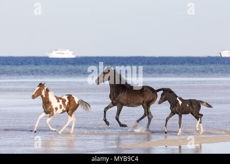 Barb horse. Bay horse and Pinto foals galloping in shallow water. Egypt. - Stock Photo