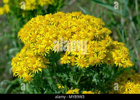 Common Ragwort (senecio jacobaea), close up of the broad flowering head of one plant. - Stock Photo