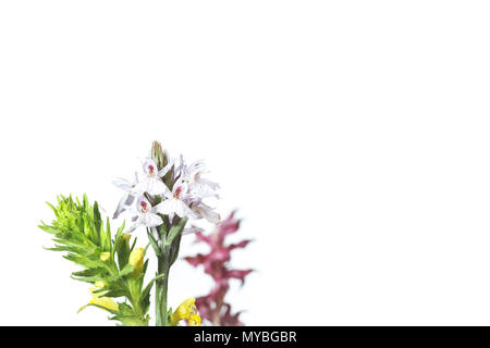 orchid flower on white - Stock Photo