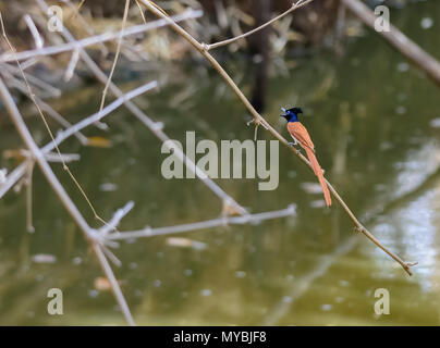 Asian Paradise Flycatcher, brown morph, calling, copy space - Stock Photo