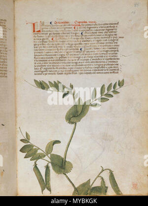 . English: arapion the Younger, Translation of the herbal (The 'Carrara Herbal'), including the Liber agrega, Herbolario volgare; De medicamentis, with index (ff. 263-265) Italy, N. (Padua); between c. 1390 and 1404 . between c. 1390 and 1404. An Italian translation, possibly from a Latin translation, of a treatise orginally written in Arabic by Serapion the Younger (Ibn Sarabi, likely 12th century). 99 Carrara Herbal17 - Stock Photo