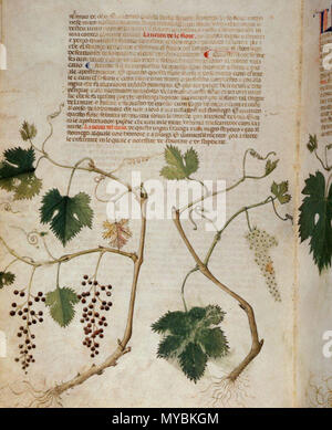 . English: arapion the Younger, Translation of the herbal (The 'Carrara Herbal'), including the Liber agrega, Herbolario volgare; De medicamentis, with index (ff. 263-265) Italy, N. (Padua); between c. 1390 and 1404 . between c. 1390 and 1404. An Italian translation, possibly from a Latin translation, of a treatise orginally written in Arabic by Serapion the Younger (Ibn Sarabi, likely 12th century). 99 Carrara Herbal19 - Stock Photo