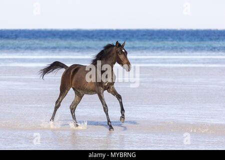 Barb horse. Bay horse galloping in shallow water. Egypt. - Stock Photo