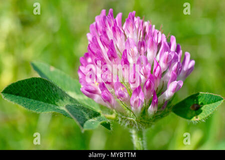 Red Clover (trifolium pratense), close up of a single flower head. - Stock Photo