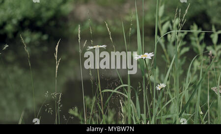 Camomiles in grass near the pond water - Stock Photo