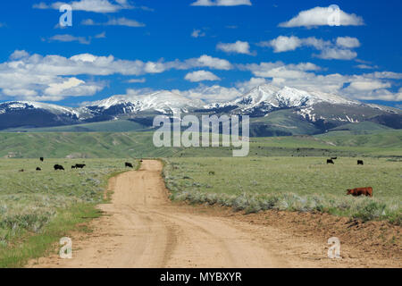 cattle grazing on rangeland below the snowcrest range near dillon, montana - Stock Photo