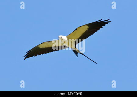 A swallow-tailed kite, Elanoides forficatus, soars high in search of prey. - Stock Photo