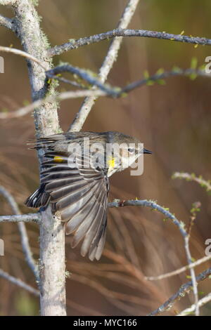 A Yellow-rumped warbler, Setophaga coronata, forages for insects. - Stock Photo