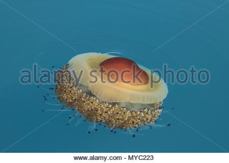 A Mediterranean jelly or fried egg jellyfish (Cotylorhiza tuberculata), floats through the water. - Stock Photo